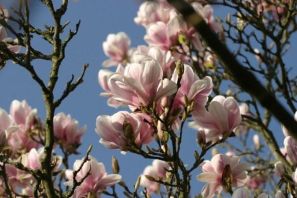 magnolia2014-2