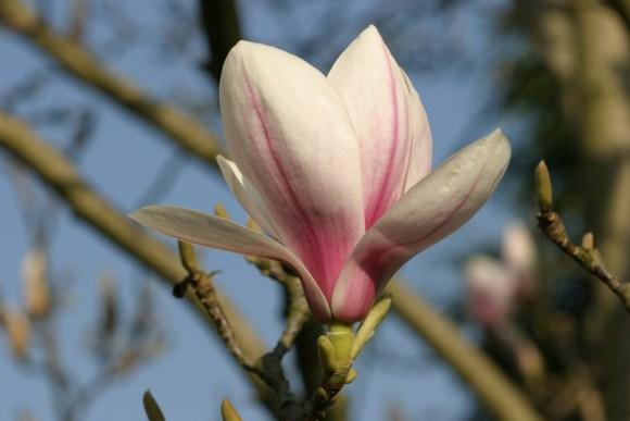 magnolia2014-b